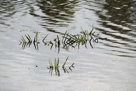 Aquatic plants by a lake