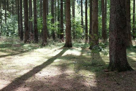 Trees cast shadows on the forest floor