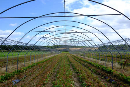 Greenhouses for strawberry cultivation