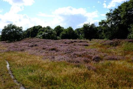 Heathland in bloom in autumn Standard-Bild