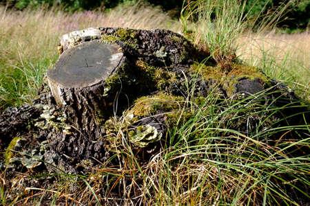 Tree stump of an oak