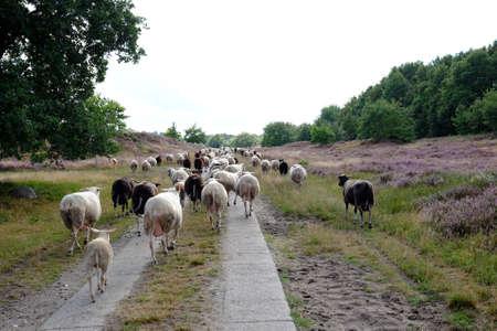 Sheep in a heathland