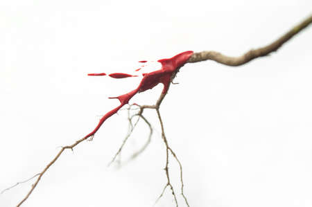 Tree Branch with Red Paint on White Background