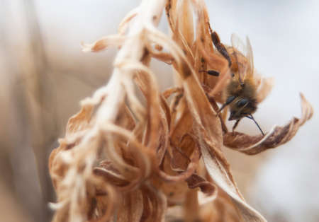 Honey Bee searching for pollen in winter