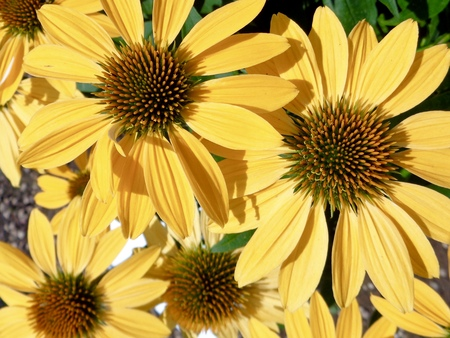 echinacea: Yellow echinacea flowers Stock Photo