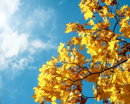 autumn leaf: Autumn leaves with the blue sky background