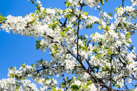 Blossoming apple tree on blue sky Stock Photo