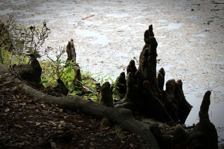 this vignette in soft silhouette gathering of small cypress tree roots around a taller one calls to mind children surrounding a parent or teacher Stock Photo