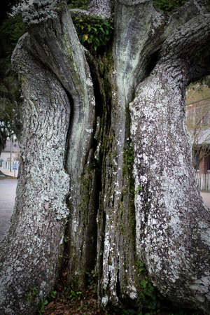 ancient oak tree trunk has split a part and healed repeatedly through the centuries