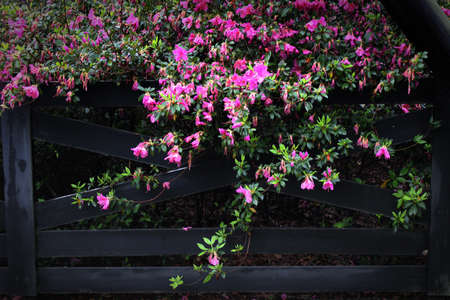 Pink flowers tumble over this rustic rural black fence.