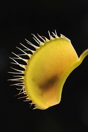 Venus Fly Trap Carnivorous with Fly Inside on Black Background