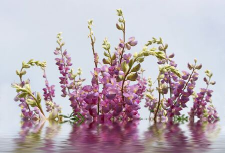 Pink and Lavender Lupin Flowers with Reflection and Water in Foreground
