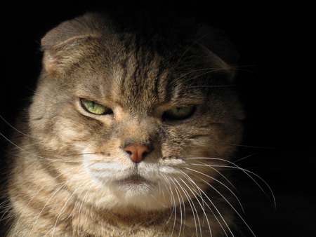 Cat with Green Gold Eyes Glares at Camera in Half Silhouette