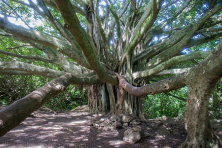 Banyan Tree with Long Limbs Reaches Towards Camera with Powerful Lines