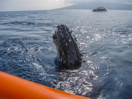 interacts: Juvenile Humpback Whale Spy Hops to Look at People on Raft Stock Photo