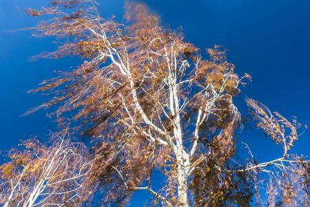 Looking Up at Tree Blowing in Wind Against Blue Sky Stock Photo