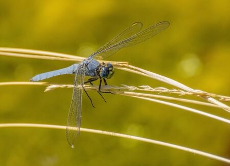 Close Up Dragonfly Gripping Twig with Big Blue Eyes and Green Face