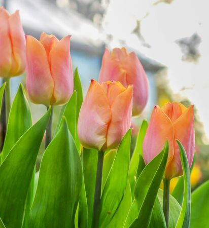 Diagonal Close Up Line of Tulips in Peach Pink