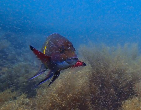 Brightly Colored Snapper Swims amid Shrimp Spawn Stock Photo