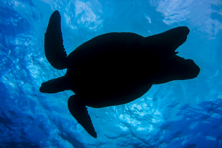Sea Turtle Silhouette Shot from Underneath with Ocean Surface as Background