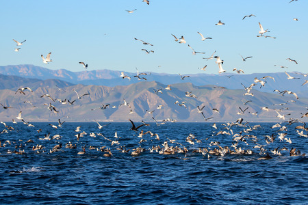Feeding Frenzy at Sea with Gulls Pelicans and Dolphins off California Coast