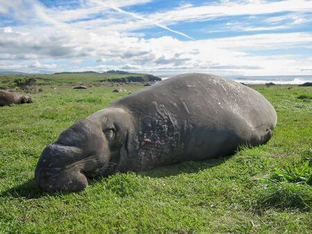 Male Elephant Seal Asleep on Grass Stock Photo