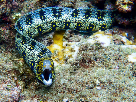 Snowflake Eel With Open Mouth Underwater Stock Photo