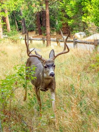 mule deer: Stag or Mule Deer Walks Through Meadow