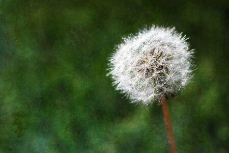 Dandelion with Dewdrops on Dark Green Texture Background Stock Photo