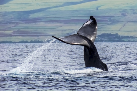 Whale Tail Close Up off Shore of Maui Hawaii 写真素材