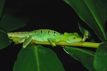 Lizard on Limb at Night in Costa Rica Jungle