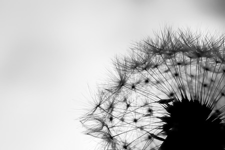 Black and White Tiny Shapes and Details in Dandelion