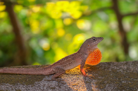 Anole Lizard in Profile in Defensive Position with Sun Behind Stock Photo