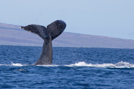 Humpback Whale prepares to Slap Surface of Ocean with Tail