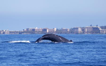 Humpback Whale Dives off Hawaii Coastline Reklamní fotografie