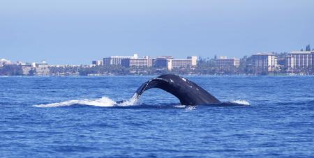 Humpback Whale Dives off Maui Coast Reklamní fotografie