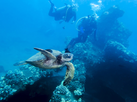 Green Sea Turtle with Two Divers in Background