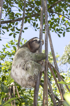 Three Toed Sloth Climbing Tree