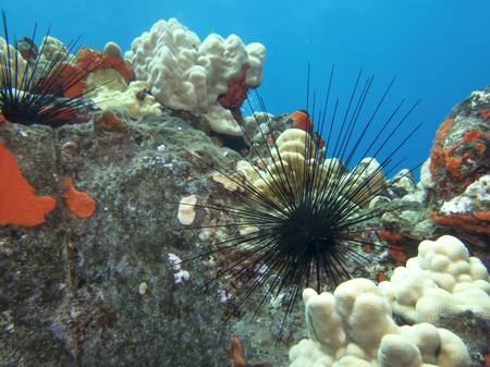 Black Spiny Urchin with Red and White Coral and Blue Background Stock Photo
