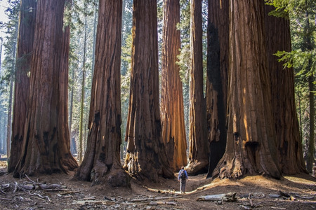 Giant Sequoia Redwood Forest with Tiny Man in Foreground Stock Photo