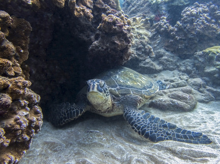 Hawaiian green sea turtle resting on ocean floor tucked into reef in close up face first image.