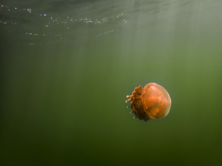 Sun beams shine through green water onto orange colored golden jellyfish in Jellyfish lake, Palau. 스톡 콘텐츠