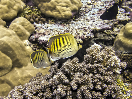 Pair of yellow spot banded butterflyfish tropical fish close up swimming over coral reef in Palau.