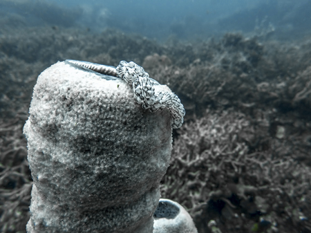 Close up black and white worm sea cucumber sitting on a white tube sponge underwater in Palau. 写真素材