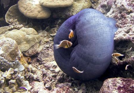 Bright orange anemonefish with their purple anemone bag underwater on coral reef in Palau. 写真素材