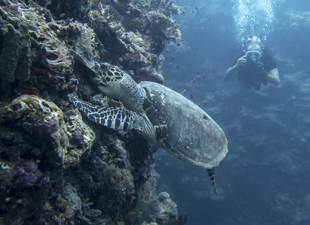 Hawksbill sea turtle bites down on coral and rips it off reef wall underwater in Palau. Stock fotó