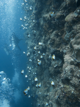 Large school of pyramid butterflyfish swim along vertical reef wall with divers and bubbles.