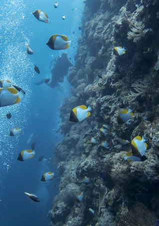 Black orange and white pyramid butterflyfish swim along coral reef wall with diver in background.