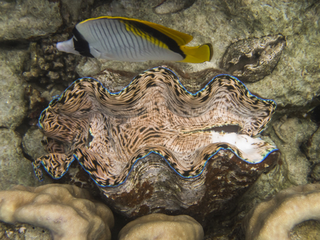 Close up giant clam in peach green and blue colors with butterflyfish on coral reef underwater in Palau. Stock Photo