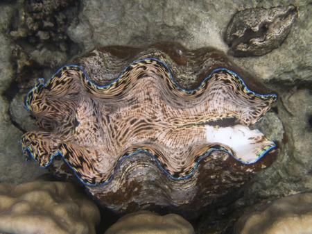 Bright neon colors of peach pink blue and green in giant clam on coral reef underwater in Palau